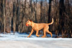 Irish Terrier walks in the snow with a ball Royalty Free Stock Image