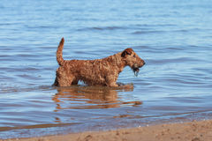 The Irish Terrier is in the water on the beach. The Irish Terrier is in the water royalty free stock photos