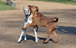 Irish Terrier and Whippet. Adorable little Irish Terrier puppy playing with a Whippet Stock Photography