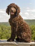 Irish Water Spaniel Royalty Free Stock Image