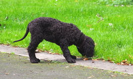 Irish Water Spaniel Puppy. With green grass royalty free stock images