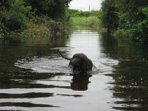 Irish water spaniel in water. This is actually a flooded beach access path after a hurricane in 2017 Stock Photo