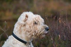 Irish weathen soft coated terrier Stock Image