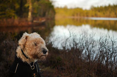 Irish wheaten softcoated terrier. An irish softcoated wheaten terrier, softis, sitting in the ruf outdoor in the nature in front of a lake royalty free stock images