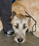 Irish wolf hound Stock Image