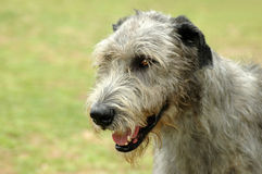 Irish Wolf hound Stock Photos