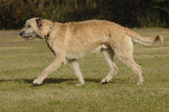 Irish wolf hound moving Stock Images