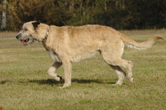 Irish wolf hound moving Stock Photo