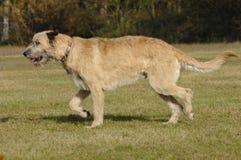 Irish wolf hound moving Stock Photo