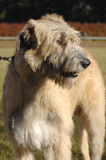 Irish wolf hound standing Royalty Free Stock Images