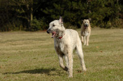 Irish wolf hounds running Stock Images
