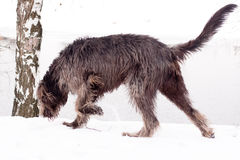 Irish wolfhound royalty free stock photos