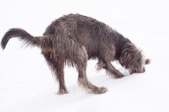 Irish wolfhound stock photos