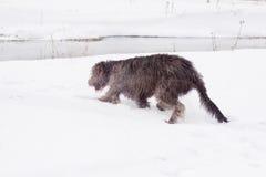 Irish wolfhound Stock Images