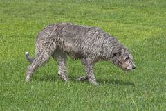 Irish, Wolfhound, Royalty Free Stock Images