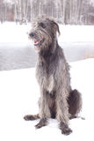 Irish wolfhound Stock Photography