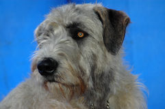Irish Wolfhound. A beautiful Irish Wolfhound dog head portrait with cute expression in the face watching other dogs Royalty Free Stock Images