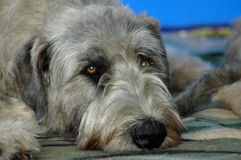 Irish Wolfhound. A beautiful Irish Wolfhound dog head portrait with cute expression in the face watching other dogs while lying on the blanket Stock Photos