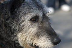 Irish wolfhound Royalty Free Stock Images