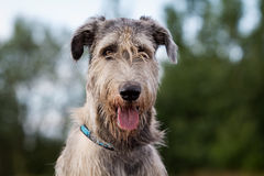 Irish wolfhound. Big irish wolfhound dog head Stock Photos