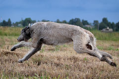 Irish wolfhound. Dog run in field Stock Image