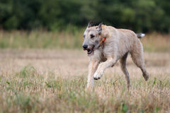 Irish wolfhound. Dog run in field Royalty Free Stock Photos