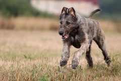 Irish wolfhound. Dog run in field Royalty Free Stock Image