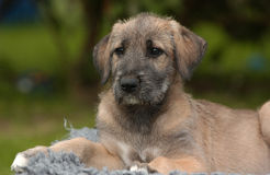 Irish Wolfhound. An Irish Wolfhound Puppy in an age of 8 weeks Stock Photo