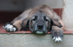 Irish Wolfhound. An Irish Wolfhound Puppy in an age of 8 weeks Stock Photography