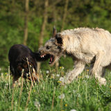 Irish wolfhound attacking some brown dog stock image