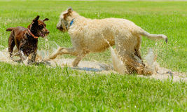 Irish wolfhound and Chocolate Lab playing in mud puddle in park. Irish Wolfhound and Chocolate Lab playing in wet, muddy park Stock Image
