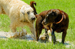 Irish wolfhound and Chocolate Lab playing in mud puddle in park. Irish Wolfhound and Chocolate Lab playing in wet, muddy park Royalty Free Stock Photo