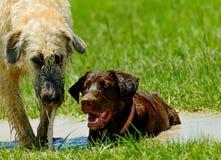 Irish wolfhound and Chocolate Lab running in park. Irish Wolfhound and Chocolate Lab running in wet, muddy park Stock Image