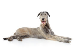 Irish Wolfhound dog. Lying on a white background Stock Image