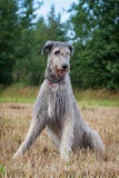 Irish wolfhound dog. Head sit on grass Royalty Free Stock Photos