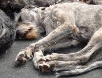 Irish Wolfhound dog Royalty Free Stock Photo