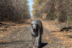 Irish Wolfhound Stock Image