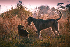 Irish Wolfhound Royalty Free Stock Photography