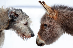Dog and donkey. Irish wolfhound dog and donkey Royalty Free Stock Photo
