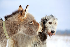Dog and donkey. Irish wolfhound dog and donkey Royalty Free Stock Image