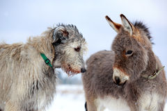 Dog and donkey. Irish wolfhound dog and donkey Stock Photography