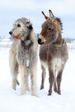 Dog and donkey. Irish wolfhound dog and donkey Royalty Free Stock Photography