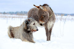 Dog and donkey. Irish wolfhound dog and donkey Stock Image