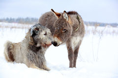 Dog and donkey. Irish wolfhound dog and donkey Royalty Free Stock Photos