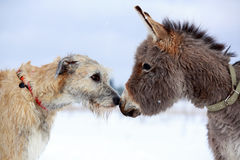 Dog and donkey. Irish wolfhound dog and donkey Stock Photo