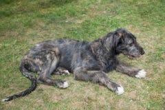 Irish Wolfhound dog lying on the grass stock photo