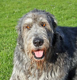Irish wolfhound dog. Photo of a large breed irish wolfhound dog enjoying the sunshine in a kent park.photo taken 25th march 2017 Stock Photos
