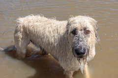 Irish Wolfhound dog playing in standing flood waters in Houston, TX Royalty Free Stock Photos