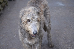 Irish Wolfhound Dog with Scruff Stock Photography