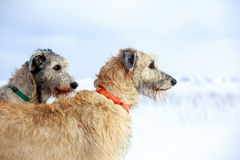 Two dogs. Irish wolfhound dog in winter Royalty Free Stock Photos